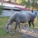 Серая лошадь пасется