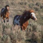 Современные лошади пегой масти
