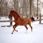 Рыжая масть терской породы лошадей