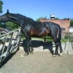 Караковая лошадь