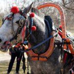 Упряжная лошадь