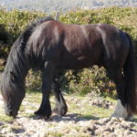 Бурая лошадка с черным хвостом