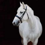 Серая белорусская лошадка