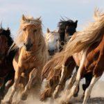 Табун лошадей бегут галопом