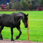 Необъезженный конь вороной масти