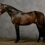 Лошадь Англичанка
