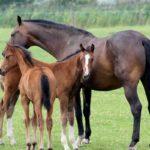 Кабардинские лошади гнедой масти