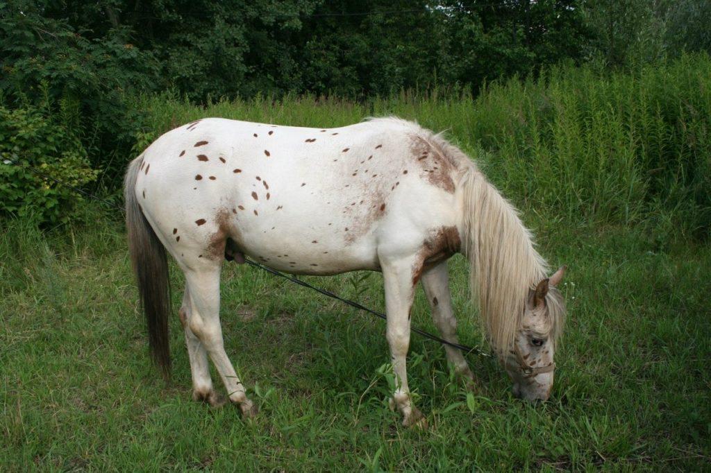 Лошадь Мышастой масти форолевой раскраски