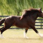 Лошадь шайр бежит