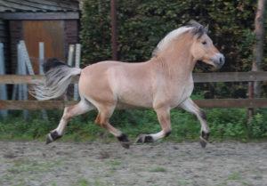 Фьорд лошадь