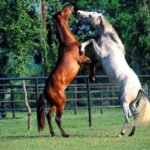 Спаривание коня и лошади