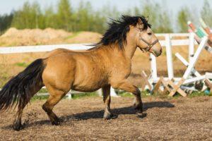 Лошадь беларусская