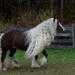 Цыганский конь с красивой гривой
