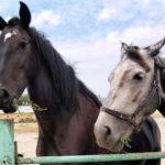 Лошади вымершей породы - битюг
