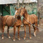 Русская порода лошадей