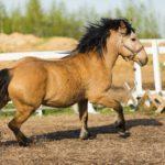 Светло-желтая масть коня