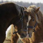 Две лошадки с короткой гривой