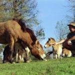 Привыкание лошадей к человеку