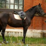 Русская порода лошади