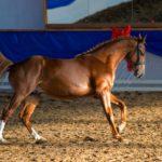 Донская лошадь на соревнованиях