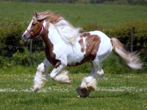 Шайр лошадь