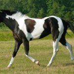 Пегая мать лошади