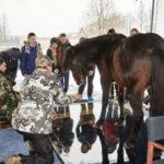 Измерение веса лошади на весах