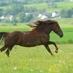 Лошадь бежит рысью