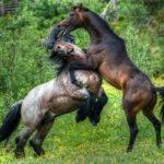 Спаривание молодых лошадей