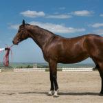 Тренировка лошади терской породы