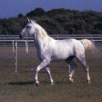 Молодая лошадь липпицианской породы