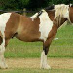 Пегий конь стоит