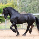Фризская лошадь