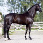 Черный конь стоит