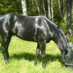 Черный конь пасется