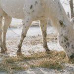 Конь породы аппалуза