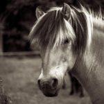 Конь древней породы фьорд