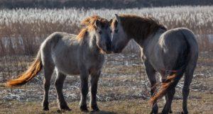 Лошади тарпан