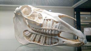 Череп лошади с зубами