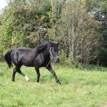 Конь вороной масти бежит