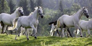 Липпицианские лошади