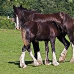 Лошади породы шайр