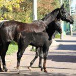 Взрослая кобыла и молодая лошадка
