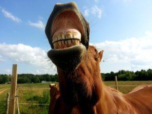 Зубы лошади