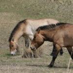 Дикие лошади - Пржевальского