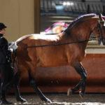 Конь французский сель в конном спорте