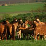 Лошади Русской породы
