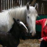 Знакомство и привыкание лошадей и человека