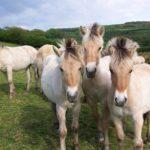 Лошадки фьорд