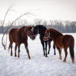 Лошади породы русский рысак